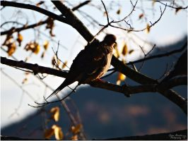 The Evening Dove. by Sparkle-Photography