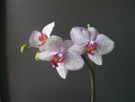 Orchids by paolaquasar