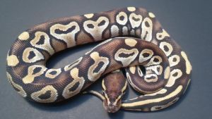 2012 Female Mojave 1 by ReptileMan27