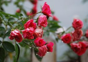 Roses after rain by cathyss02