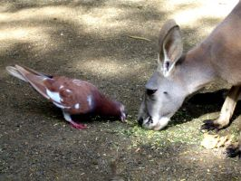 The Pigeon and the Kangaroo by mercyop