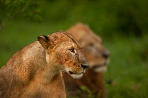 African Lion 70 by catman-suha