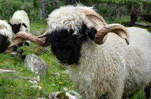 Swiss Blacknose Ram by Burtn