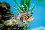 Lion Fish 1.0 by ST77