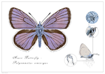 Mazarine Blue Butterfly - Polyommatus semiargus by rainytown
