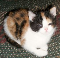 Mini Calico by snathaid-mhor