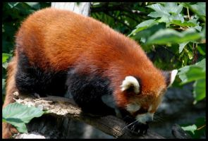 red pandas walk by morho
