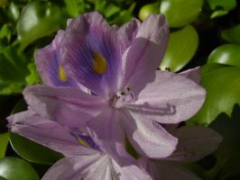 Glittering Water Hyacinth by Pentacle5