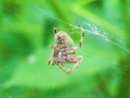 Orb Weaver by LovingLivingLife