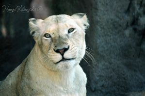 White Lioness by NawalAckermann