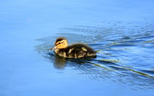 Mallard Duckling by sgt-slaughter