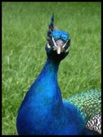 Peacock 1 by ChaoticatCreations
