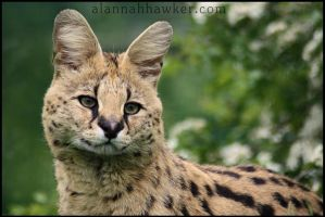 Serval 05 by Alannah-Hawker