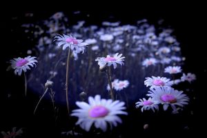 Daisies in the Dark by Joe-Lynn-Design