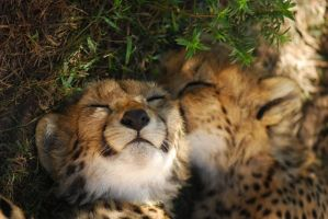 sleepy cheetahs by NagWolf