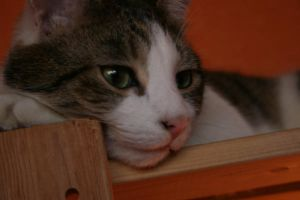 contemplating cat by thom-cat