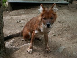 Asiatic Red Dog Dhole 2 by animalphotos