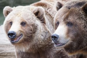 Brown Bear Brothers by IckyDog