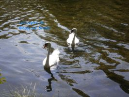 Swans by Alicetiger