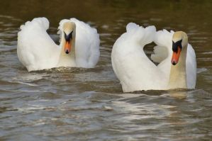 Swans 2014 2 2 by melrissbrook