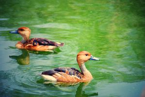 Ducks 6 by lostreality91