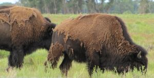 Bison - Adults 1 by cozzybob