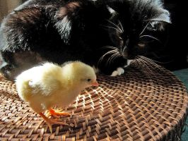 Cat and Chicken by moeoeop