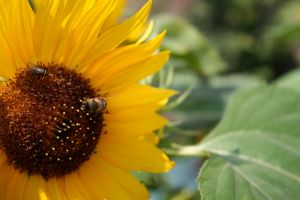 Sunflower by Toefje-Kunst