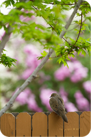.: Spring Mourning Dove :. by jon-rista