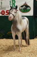 Roan Paint Mini Horse Stock by GloomWriter