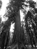 Sequoia 2 by livdrummer