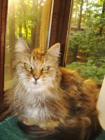 Pretty Maine coon by Yu-Gi-Ohlover321