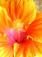 Hibiscus 6 by GreenMusic