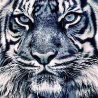 Tiger close up by DjhannaS