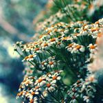 chamomile by Mars-Hill