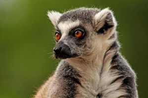 Lemur 2 by DanielleMiner