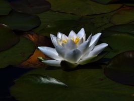 water lilly by awjay