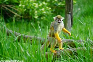 Squirrel Monkey II by amrodel