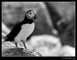 Atlantic Puffin by seanbeckettvt