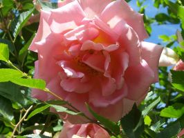 Pasonate pink rose by Eliwaz