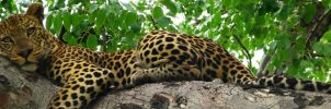 leopard : Africa 2 by shrimpeth