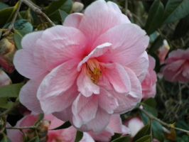 Camellia 4 by LilMickey27