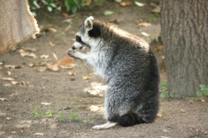 racoons in Zoo cologne by ingeline-art