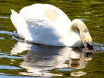 just a swan by pagan-live-style