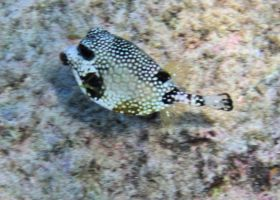Fish - Trunkfish by Lauren-Lee