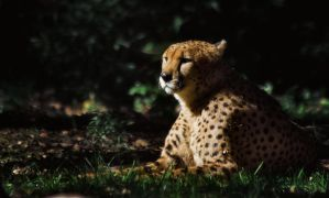 cheetah615 by redbeard31