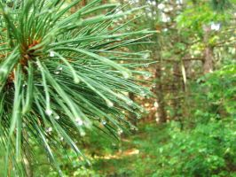 Pine 4 by luv2icesk8