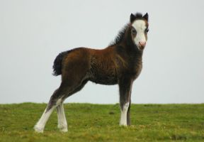 wild foal posing for a picture by imtl