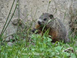 woodchuck by ogiedomane