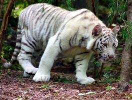 white tiger cub by bullsnook